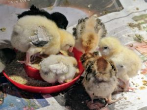 """These chicks have several feeders and several waterers in the brooder. A chick should never have to """"wait in line""""."""