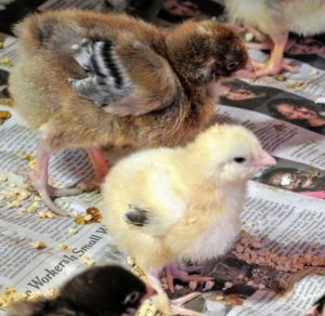 The chicks will be fed organic chick starter feed for the first six to eight weeks.