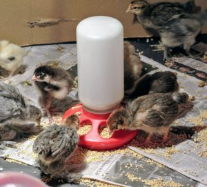 I am so happy with this group of babies - they are all strong good eaters, and will be a great addition to my flock.