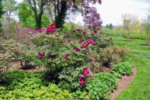 This is what my tree peony garden looks like in bloom - shrubs are filled with color and life.