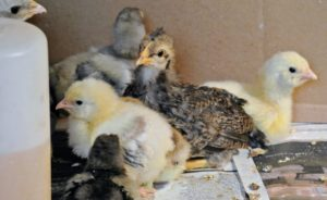 Chicks grow very fast, so it is important to be prepared with designated living spaces before the chicks arrive.