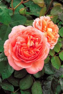Among the other roses we ordered - 'Abraham Darby' - its very large cup-shaped flowers are apricot and yellow at first, becoming tinted with pink over time. (Photo courtesy of Dvid Austin Roses)