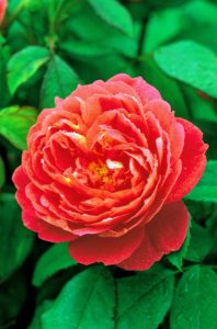 The flowers of 'Benjamin Britten' have unusual coloring for an English Rose - strong salmon-pink that changes with age to a strong shade of pure pink. Its fragrance is fruity, with wine and pear drops. (Photo courtesy of David Austin Roses)