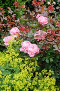 'Brother Cadfael' has some of the largest blooms of all the English Roses. Their color is a good medium pink. (Photo courtesy of David Austin Roses)