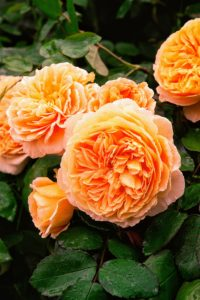 The large apricot flowers of 'Crown Princess Margareta' have approximately 120 petals each, arranged in a neatly-formed rosette. The fruity Tea Rose fragrance is strong and lovely. (Photo courtesy of David Austin Roses)