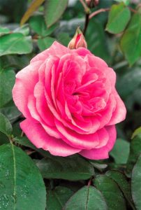 One of the most fragrant English Roses, 'Gertrude Jekyll' has large rosette-shaped flowers that are a rich pink. This is one of the first roses to start flowering in early summer and an excellent repeat bloomer. (Photo courtesy of David Austin Roses)