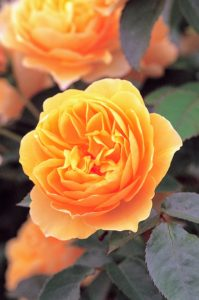 English Rose 'Graham Thomas' has lovely yellow, cup-shaped blooms with a strong, fresh Tea rose fragrance. It forms a bushy shrub sized five feet high by four feet wide. (Photo courtesy of David Austin Roses)