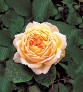 Here is what the flowers will look like on 'Jude the Obscure'. The color is a pleasing buff yellow on the inside of the petals and a paler yellow on the outside. The bush is beautiful, strong and healthy, growing up to eight to 10 feet as a climber. (Photo courtesy of David Austin Roses)
