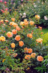 'Lady of Shalott' has apricot-hued blooms filled with loosely arranged petals. Its warm fragrance has hints of spiced apple and cloves. (Photo courtesy of David Austin Roses)