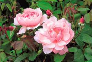 David Austin's 'Mortimer Sackler' is a graceful, versatile, exceptionally healthy rose with pink flowers and nearly thornless dark stems. (Photo courtesy of David Austin Roses)