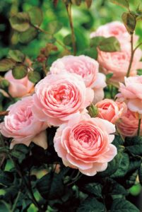 'Queen of Sweden' has wide shallow-cupped flowers that open in apricot-pink, later becoming pure soft pink. (Photo courtesy of David Austin Roses)