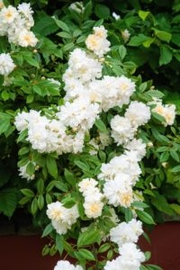 David Austin's 'Snow Goose' is very healthy. It is also relatively thornless, which make it particularly useful as a climber or tall shrub. (Photo courtesy of David Austin Roses)