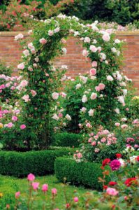English Rose 'St. Swithun' comes in light pink with double full blooms. It smells beautiful. (Photo courtesy of David Austin Roses)
