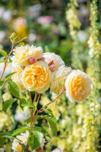 English Rose 'Teasing Georgia' has yellow flowers, each of which has approximately 110 petals. The outer petals fall back, fading to a pale yellow. (Photo courtesy of David Austin Roses)