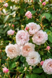 'The Albrighton Rambler' blooms all season long. Its small pink flowers are perfectly formed. (Photo courtesy of David Austin Roses)