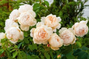 'Wollerton Old Hall' is one of the most fragrant of all English Roses. Its distinctive strong myrrh scent has a delicious citrus hint. Its plump buds have attractive flashes of red. (Photo courtesy of David Austin Roses)