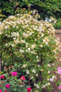 The 'Malvern Hills' rambler is a glorious, repeat-bloomer that produces large clusters of small, double, soft yellow flowers. Its fragrance is a sweet musky Noisette scent. (Photo courtesy of David Austin Roses)