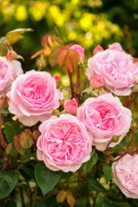 'Olivia Rose Austin' - named for the grand-daughter of rose hybridizer David C. H. Austin, the soft pink rose is considered one of the best roses the Austin team has introduced (Photo courtesy of David Austin Roses)