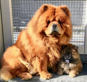 And here is the great Chow Chow, GK. He is such a wonderful and loving dog with puppies.