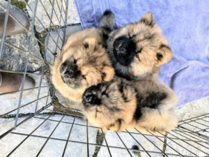 All the puppies are so beautiful - Karen is a very well-known top Chow Chow breeder, and always focuses on both temperament and appearance when breeding.