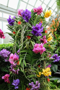 Vanda orchids come in an array of colors. Some are solid in color while others have a beautiful pattern. They typically bloom between spring and fall, but can bloom at any time of year.
