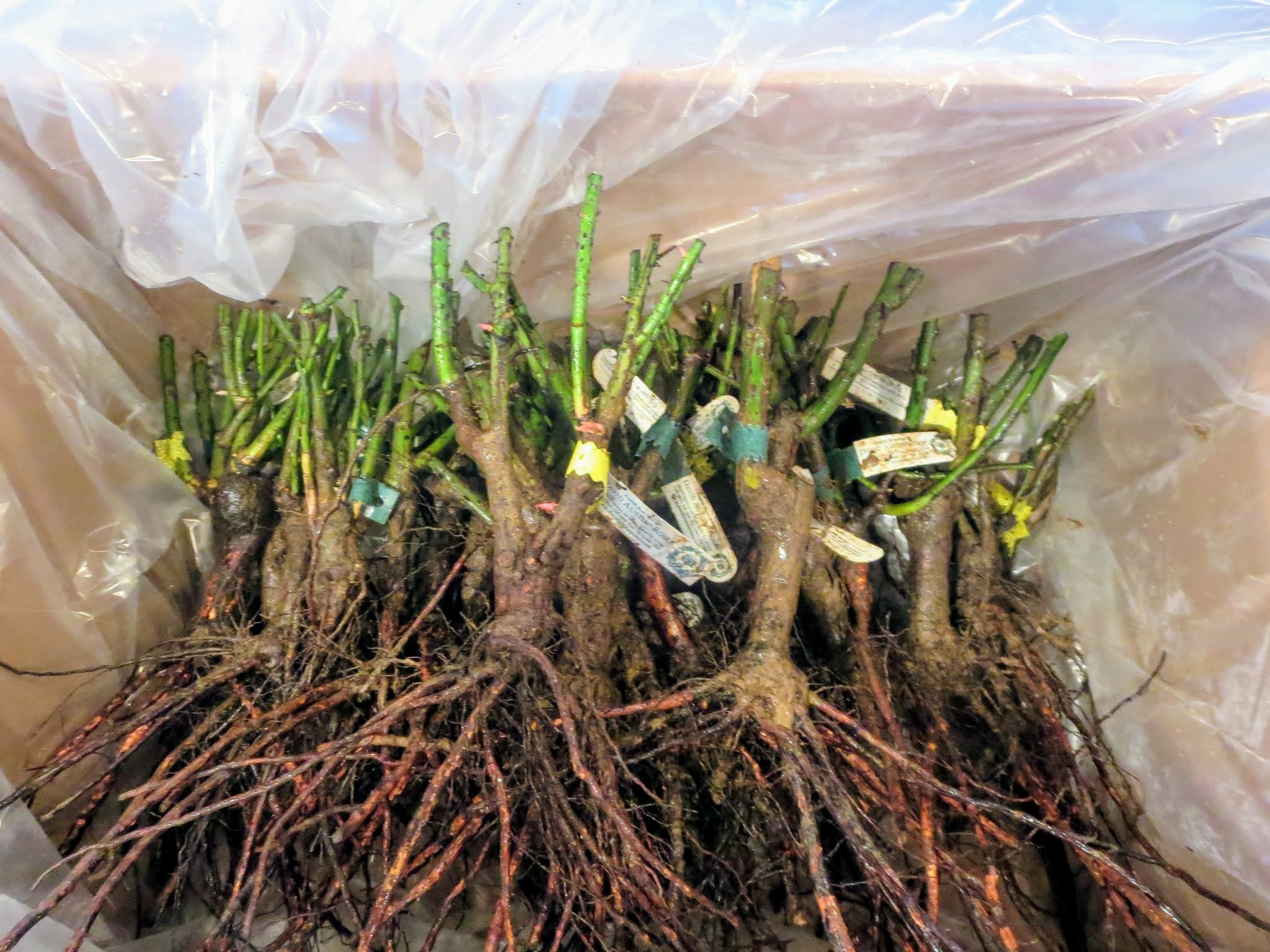 how to plant bare root roses video