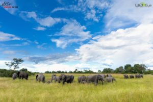 An elephant herd grazes along the Linyanti floodplain. Another smaller herd joins them from the right. These landscapes host an abundant amount of wildlife including the world's highest densities of elephant in the dry winter months.