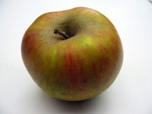 This is a 'Cox's Orange Pippin' apple. (Courtesy of Fedco Trees)
