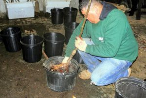 """In the Equipment Barn """"turned temporary potting shed"""", Wilmer makes sure the pot is the right size for the tree. It should be substantial enough to support a tree, but small enough to move easily. These five-gallon pots will definitely accommodate these fruit trees."""