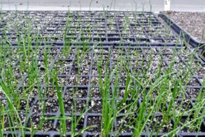 Here are the onion plants one month after seeding. Onions are high in vitamin-C, a good source of fiber, and with only 45-calories per serving, onions add a huge amount of flavor to any dish. Onions are also sodium, fat, and cholesterol free - just keep them away from your furred friends as they are highly toxic to pets.