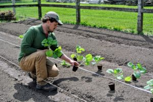The cabbage was started from seed and then planted in beds 12 to 24 inches apart in rows. The trick to growing cabbage is steady, uninterrupted growth. That means rich soil, plenty of water, and good fertilization.