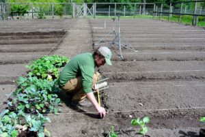 Ryan creates three beds of cabbage with two rows in each.