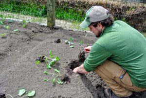 Ryan begins by digging the hole for each plant - it is very easy to plant in raised beds because of the light, fluffy, well-drained soil, which encourages vigorous plant growth.