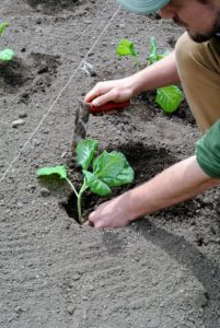 Ryan digs a hole so that the plant goes deeply into the ground - about half the stem should be buried.