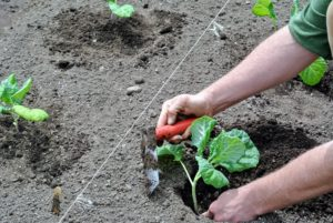 Ryan is using a right angle trowel from Johnny's Selected Seeds. Designed for transplanting, it is made of stainless steel, with a five-inch by three-inch blade and a five-inch handle. Ryan likes it because it reduces strain on the wrists. http://www.johnnyseeds.com/