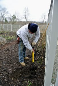 In my flower cutting garden nearby, more plants and shrubs are being planted. Wilmer uses this spear head spade from Gardener's Supply Company to plant a rose bush near the gate facing my head house.