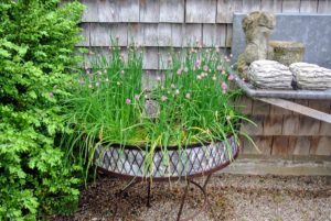 This charming round iron planter is used for growing chives. Chives is the common name of Allium schoenoprasum, the smallest species of the onion genus. It is a popular edible, and used to flavor many dishes.