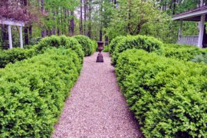 "The boxwood garden looks very lush and healthy. While the most familiar forms of boxwood are commonly referred to as ""American"" and ""English"" boxwood, there are about 90-species and more than 365 different cultivars."
