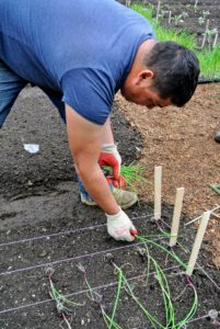 The onion plants are carefully pulled apart and planted at least four-inches away from each other. Using the twine helps to make the best use of the beds - space is precious.