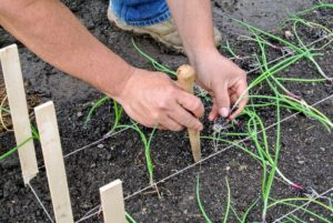 And here they are being planted into the ground - time goes fast. Wilmer uses a dibber to make the holes for each plant. When planting, grasp the onion plant at the top with the root end down and push it into the soil. The plant should be dropped about one-inch deep. Onions will grow quite large if planted properly and given enough space.