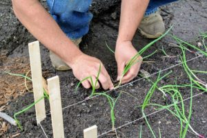 Once the plant is in the ground, Wilmer firms up the soil around it.