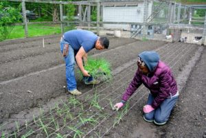 It takes some time to plant all our onions - Wambui helps from the opposite side of the bed.
