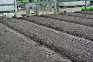 The rows are perfectly spaced in the bed - six rows each. When planting onions, select a location with full sun where they won't be shaded by other trees or plants. The best soil is well-drained, loose and rich in nitrogen. Onions are heavy feeders, and require constant nourishment if they are to produce big bulbs.