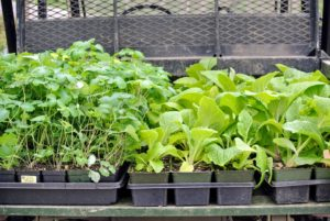 We have been working hard in the farm's gardens. Here is the latest batch of specimens ready to be planted in the Stewartia garden just behind my Tenant House - columbine and foxglove.
