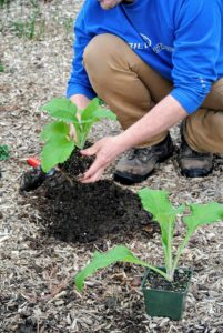 """Ryan creates a hole twice the size of the container. A plant's roots grow out more easily into loosened, enriched soil. Here at my farm, all my beds are filled with nutrient rich """"black gold""""."""