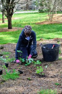 Our NYBG intern, Wambui, is also busy planting. Here she is planting some columbine. Aquilegia, also known as granny's bonnet. It is a genus of about 60-70 species of perennial plants that are found in meadows, woodlands, and at higher altitudes throughout the Northern Hemisphere.