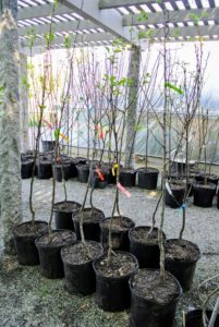 I also got a few varieties of quince including 'Aromatnaya', and 'Orange'. The fruit of the quince tree will ripen to perfection when grown in a sunny position. They are perfect for turning into jellies and jams. I already have a small grove of quince trees that thrive here at the farm.