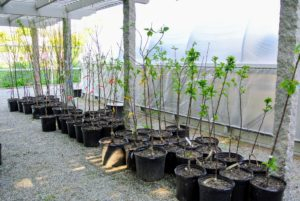 In all, I got a variety of apple trees, pear trees, plum trees, sweet and sour cherry trees, apricot trees, peach trees and quince trees. I also purchased several European varieties as well as hybrids. I can't wait until they bear their first fruits.