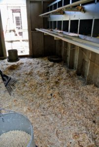 Dawa rakes all the bedding evenly across the coop floor. It's very important to keep their environments as clean and as dry as possible.