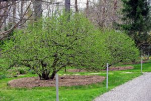 This is one of two pairs of sergeant crabapples that I have planted outside my Tenant House.